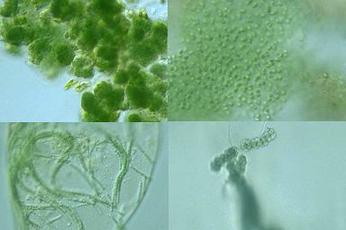 Colonies of cyanobacteria